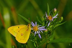 Cloudless Sulphur Butterfly. Cloudless Sulphur Phoebis sennae on an aster plant near Sicamous, British Columbia, Canada Stock Images