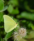 Cloudless Sulphur butterfly (Phoebis sennae) Stock Photos