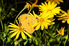 Cloudless Sulphur butterfly on yellow flower, green plant background. Cloudless Sulphur butterfly nestled between yellow flowers in Arizona`s Sonoran desert Stock Photography