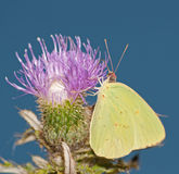 Cloudless sulphur feeding on a thistle flower Stock Photos