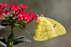Cloudless Sulphur - Phoebis sennae Stock Photos