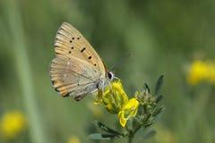 Cloudless Sulphur - Phoebis sennae Royalty Free Stock Images