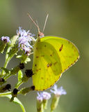 Cloudless Sulphur on Wildflowers in Texas in the Fall Stock Images
