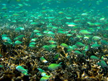 Clouds of Anthias. Underwater landscape with coral and Blue and Green Scalefin Anthias. Fiji royalty free stock image