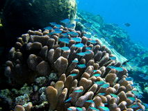 Clouds of Blue Anthias. Underwater landscape with coral and Blue and Scalefin Anthias. Fiji stock photos