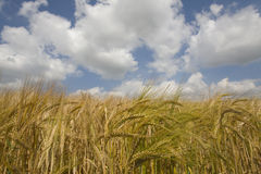 Clouds in blue sky over barley field Royalty Free Stock Photos
