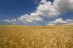 Clouds in blue sky over barley field Stock Photography
