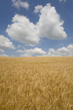 Clouds in blue sky over barley field Royalty Free Stock Photo
