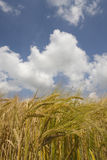 Clouds in blue sky over barley field Royalty Free Stock Image