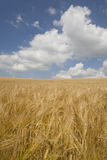 Clouds in blue sky over barley field Royalty Free Stock Photography