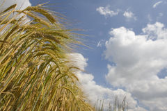 Clouds in blue sky over barley field Royalty Free Stock Images