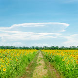 Clouds on blue sky over road in sunflowers Royalty Free Stock Images
