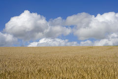 Clouds in blue sky over sunny barley field Stock Photo