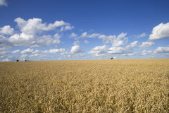 Clouds in blue sky over sunny wheat field Royalty Free Stock Photography