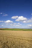 Clouds in blue sky over sunny wheat field and countryside Stock Photography