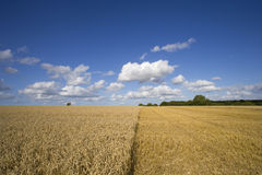 Clouds in blue sky over sunny wheat field partially harvested Stock Photos