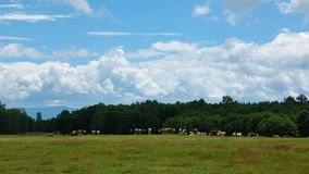 Clouds and cow herd time lapse stock video footage