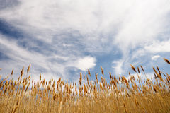 Clouds with dry summer grasses Royalty Free Stock Photos