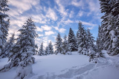Clouds are floating in the blue sky above snow-covered spruce fo. Rest. Magic landscape in the winter mountain during sunset Royalty Free Stock Photos