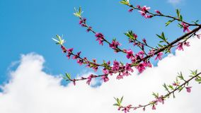 Clouds flow over beautiful spring flowers on tree branch stock footage