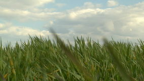 Clouds and grass timelampse sky. HD 1080i stock footage