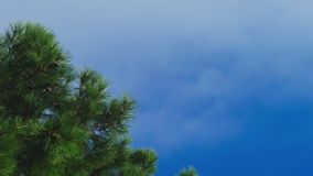 Clouds moving along the blue clear sky, pine branch close-up. 4k. time lapse stock video footage