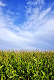 Clouds over a cornfield Royalty Free Stock Image