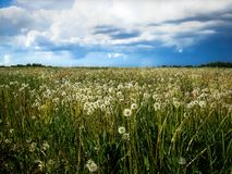 Siberian field of dandelions. Clouds over the field of dandelions in Siberia Royalty Free Stock Photos