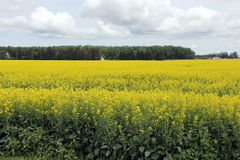 Clouds over Field of Manitoba Canola in blossom royalty free stock photos
