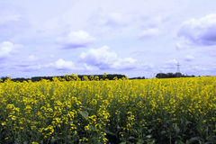 Clouds over Field of Manitoba Canola Royalty Free Stock Photo
