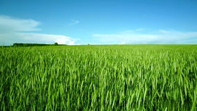 Clouds over green field of young wheat stock video footage
