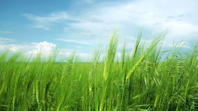 Clouds over green field of young wheat stock video