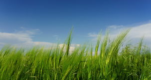 Clouds over green field of young wheat stock footage
