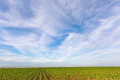 Clouds over green maize field Royalty Free Stock Image