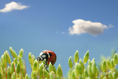 Clouds over ladybird on moss capsules Stock Images