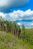 Clouds over the pine forest. Stock Photos