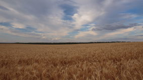 Clouds over the vast fields of ripe wheat in the middle of summer at sunset. Russia, time lapse. Clouds over the vast fields of ripe wheat in the middle of stock video