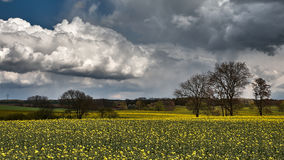 Clouds over a yellow rape field. With trees Royalty Free Stock Images