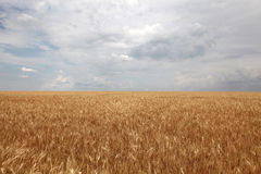 Clouds over yellow wheat field. Photo for background #7 Stock Image