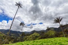 Clouds and palms. Wax palms among green grass on the top of a valley in Tolima, Colombia stock image
