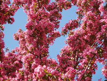 Clouds of Pink Cranapple Flowers. A cranapple tree blooms pink in the spring against a clear blue sky Royalty Free Stock Photography