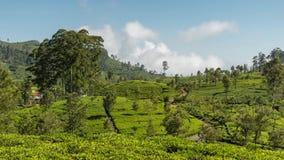 Sri Lanka Lipton seat tea plantation fields in Nuwara Eliya. time-lapse during sunrise with clouds rushing by in 4K