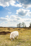 Clouds and Sheeps at sand dunes in Drenthe, Appelscha Royalty Free Stock Images
