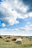 Clouds and Sheeps at sand dunes in Drenthe, Appelscha Stock Photos
