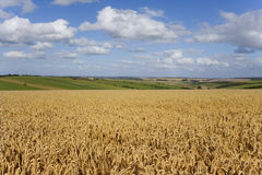 Clouds in sunny blue sky over wheat field and countryside Stock Photos