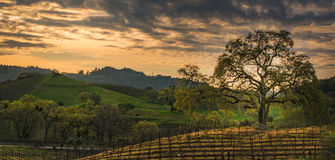 Clouds at sunrise over the vineyard with oak tree. Oak tree and ladder in the Vineyard st Sunrise in California Stock Photo