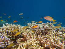 Clouds of threadfin and dispar anthias above Acropora coral royalty free stock photography
