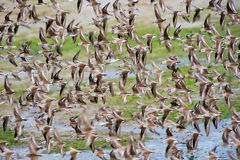 Clouds of Western Sandpiper Royalty Free Stock Photo