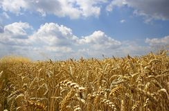 Clouds and wheat. The cloud in the sky , but or will there be the rain from them Stock Image