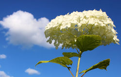 Clouds. White hydrangea on the background of sky and clouds royalty free stock photo